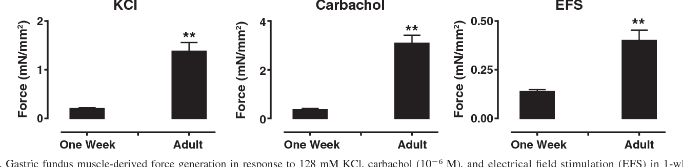 Gastric and pyloric sphincter muscle function and the developmental ...