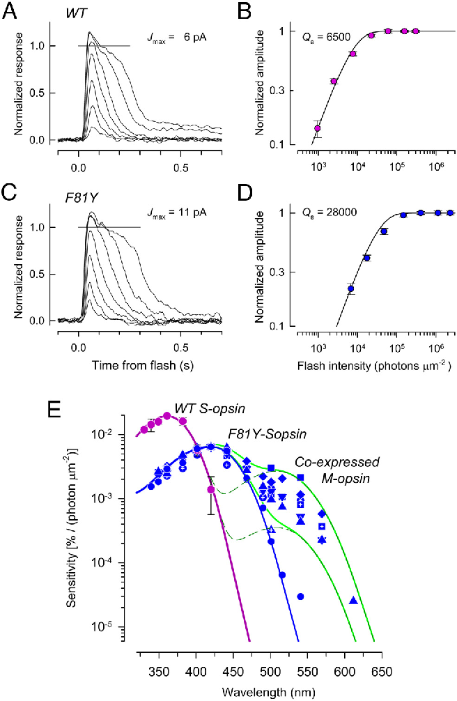 Figure 2 from An S-opsin knock-in mouse (F81Y) reveals a