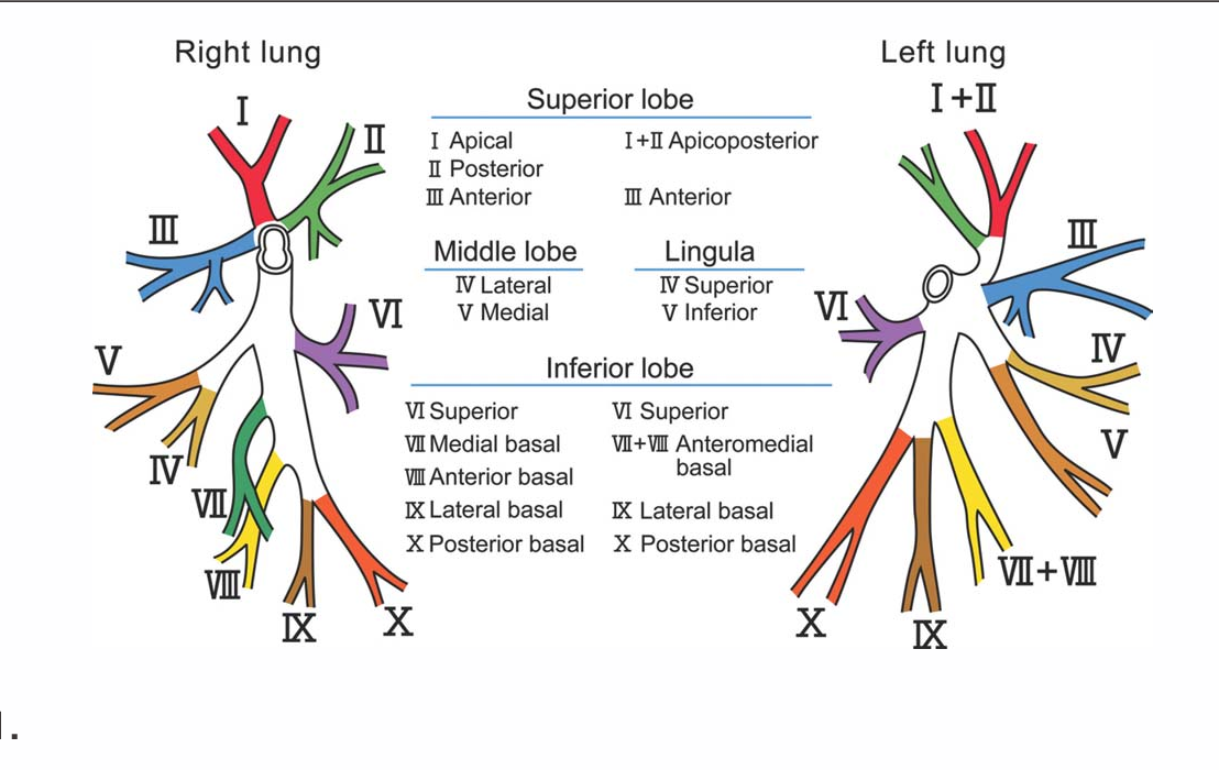 Figure 1 From Quick Dissection Of The Segmental Bronchi Semantic