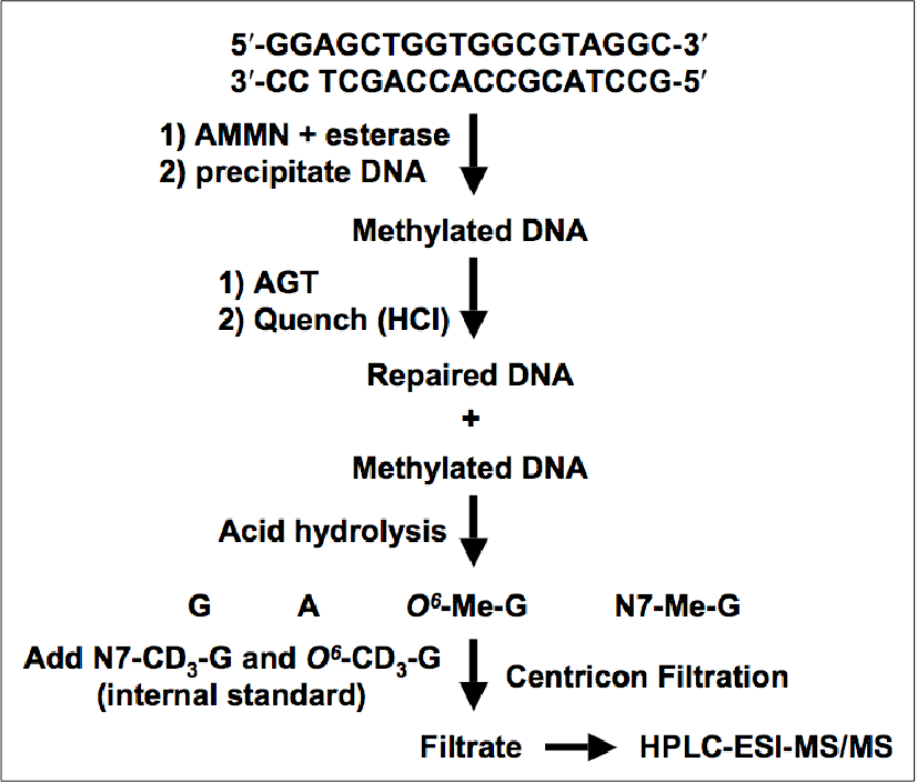 Figure 4.2 HPLC-ESI+-MS/MS strategy used to analyze AGT-mediated repair of N7Me-G and O6-Me-G adducts.