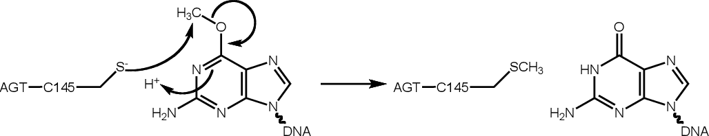 Figure 1.7 AGT-mediated removal of an O6-alkyl lesion from guanine.