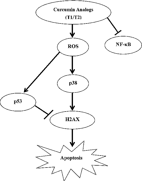 Figure 8 From Involvement Of Ros P38 H2ax Axis In Novel Curcumin