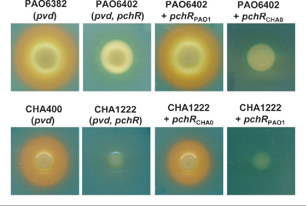 PDF] Stereospecific recognition of pyochelin and enantio
