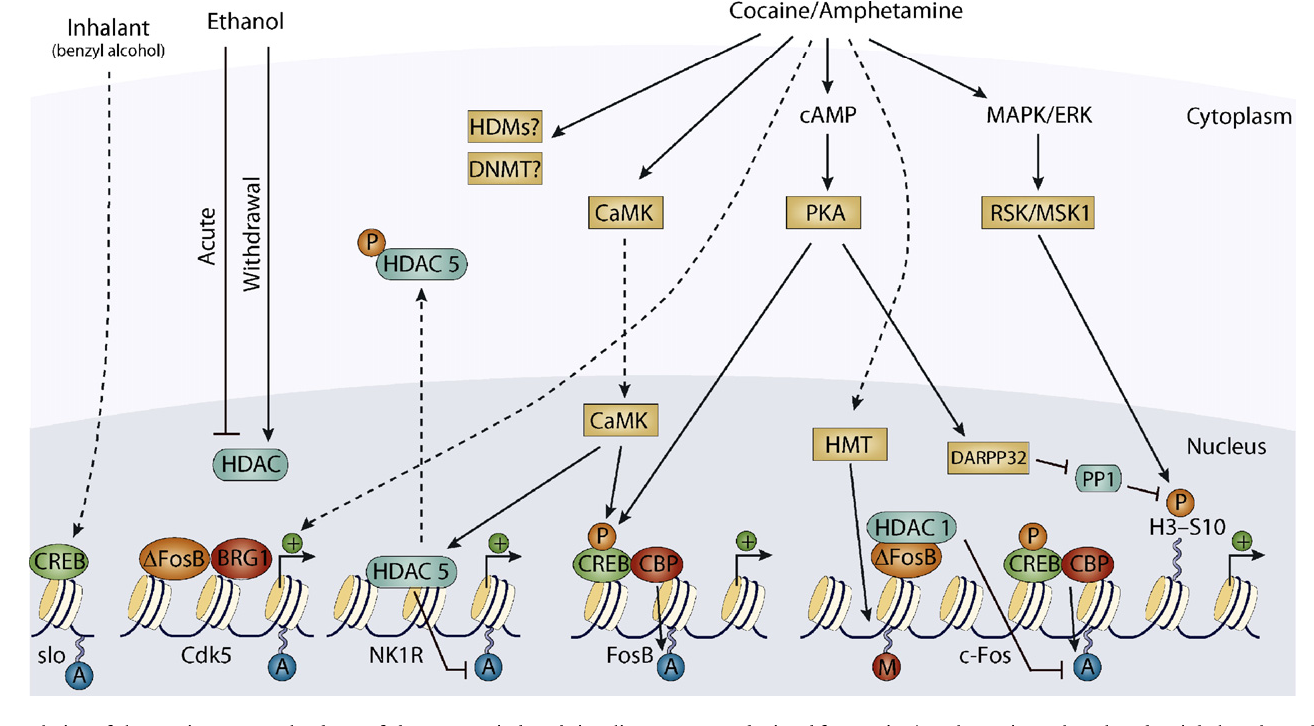 Figure 2 from Histone acetylation in drug addiction  - Semantic Scholar