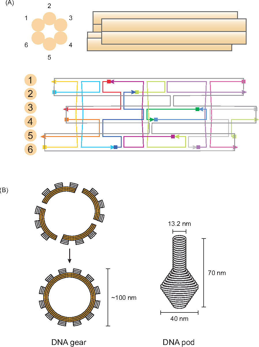 Figure 4 from rna study using dna nanotechnology semantic scholar figure 4 3d dna structure of scaffold design a basic unit of scaffold ccuart Gallery
