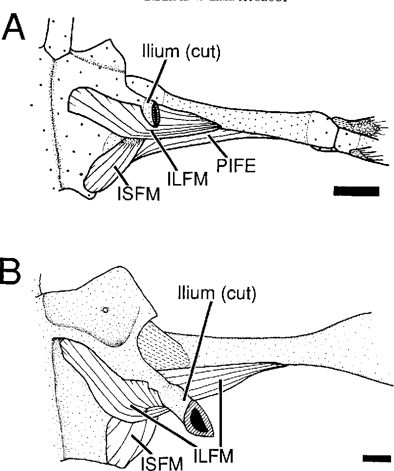 The Comparative Myology Of The Thigh And Crus In The Salamanders