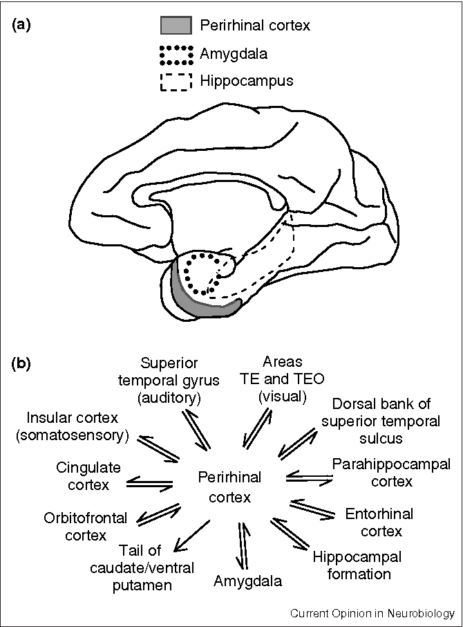 Role Of Perirhinal Cortex In Object Perception Memory And