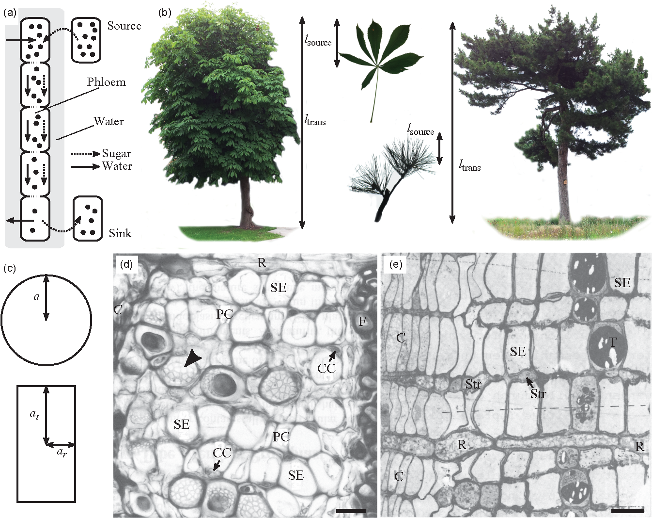 Figure 1 from Universality of phloem transport in seed plants ...