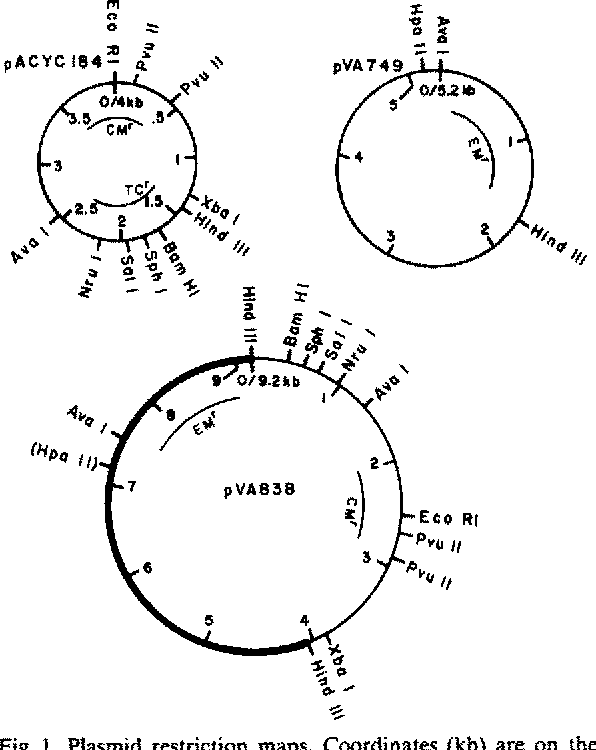Figure 1 From Recombinant Dna Streptococcal Shuttle Plasmid