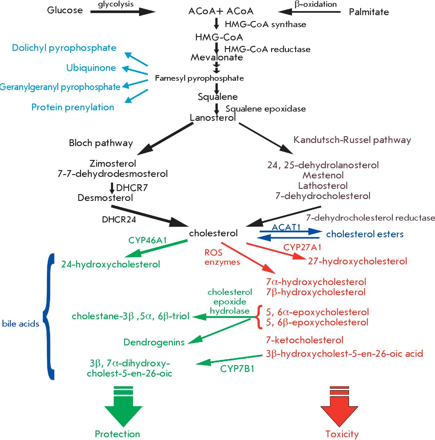 metabolic pathways diagram with cholesterol enzymes and metabolic pathways diagram