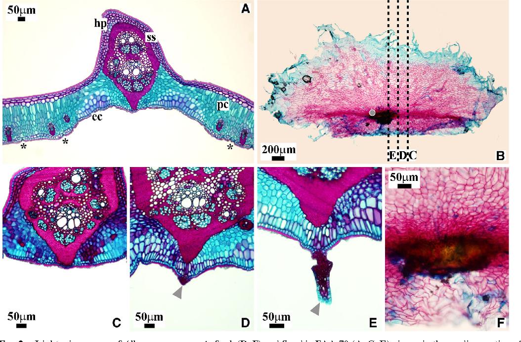 Figure 2 From Allagoptera Arenaria Arecaceae Leaf Anatomy Of A