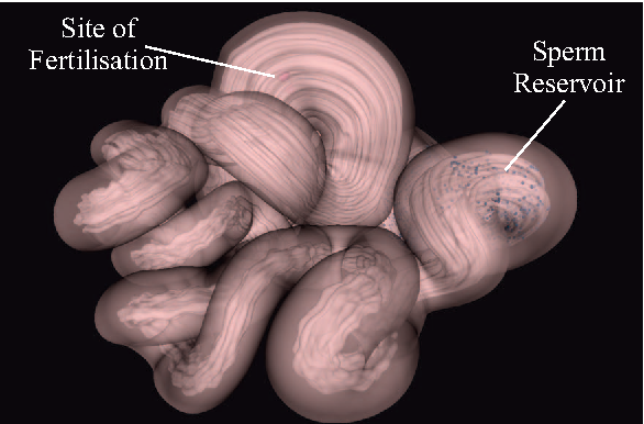 Figure 2: Shows one of the 3D oviduct models used for the simulations. The initial position of sperm agents within the sperm reservoir and the oocytes at the site of fertilisation are shown.