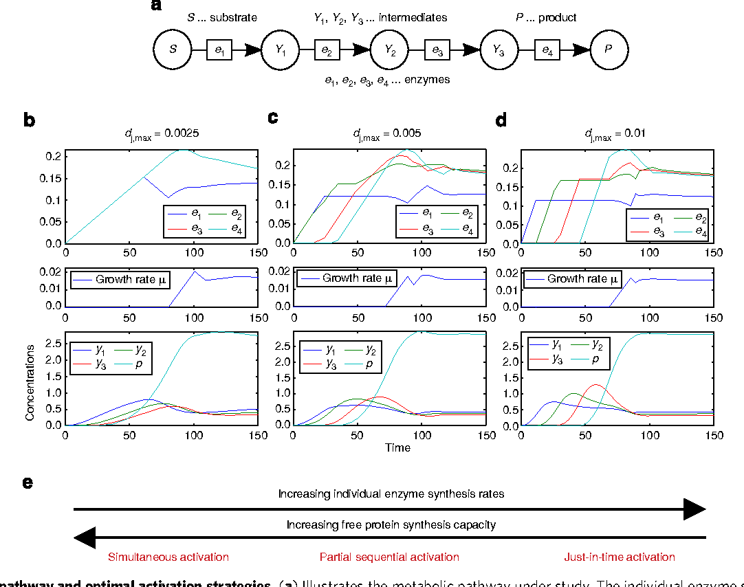 Figure 1   Model pathway and optimal activation strategies. (a) Illustrates the metabolic pathway under study. The individual enzyme synthesis rates are dj,max¼0.0025 in b, dj,max¼0.005 in c, dj,max¼0.01 in d and the free protein synthesis capacity is set to dmax¼0.01. For each case, the optimal enzyme profiles, growth rate and the corresponding metabolite profiles are shown. This and all other figures present the concentration profiles and simulation time in arbitrary units. In e, the influence of enzyme synthesis rate relative to the free protein synthesis capacity on optimal activation strategies is summarized.