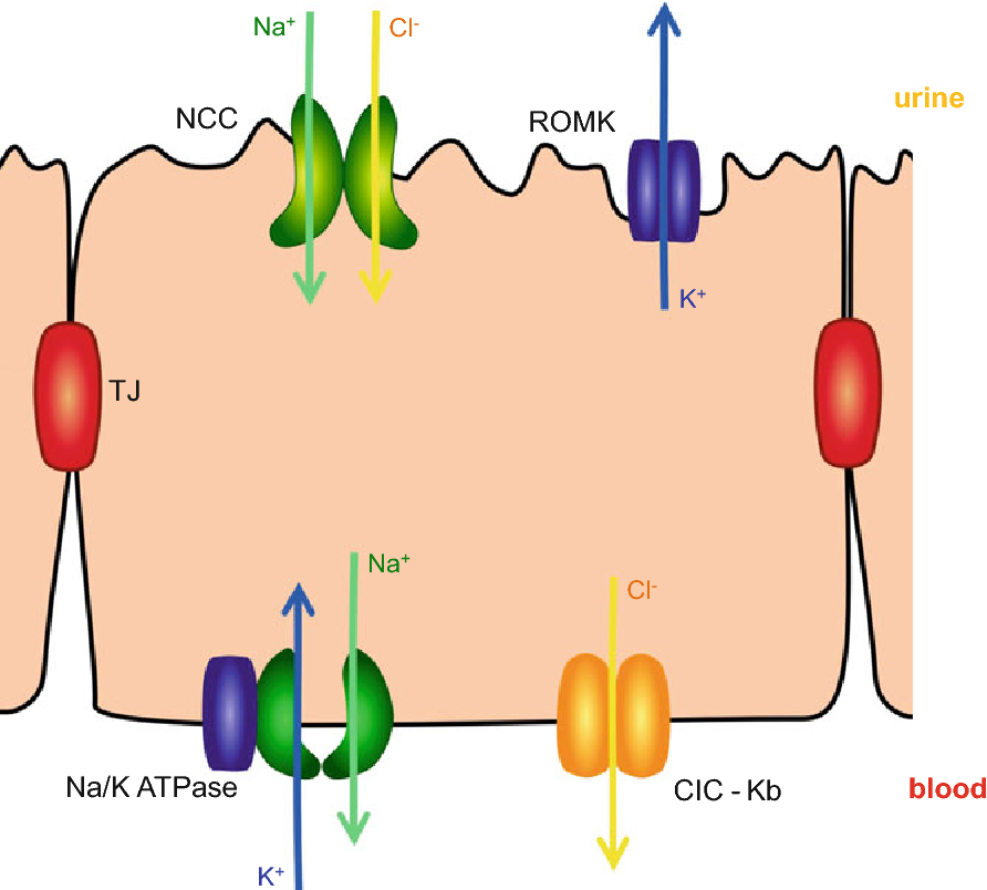 Fig. 2.8 Simplified scheme of Na+ reabsorption in the distal convoluted tubules. The major step of apical Na+ intake in the early DCT is via the Na+–Cl cotransporter (NCC). The removal of Na+ from the basolateral side of the DCT cells is controlled by the very intense activity of the Na+/K+ pump; apically, K+ is secreted via ROMK channels. Similar to the TAL, basolateral Cl efflux is mediated via the CIC-K channels, which significantly ensure the maintenance of the gradient for the entry of Na+ and mitigate against intracellular Cl concentration increases resulting from apical NaCl entry via Na+–Cl cotransport