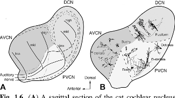 Figure 16 From Auditory Pathways Anatomy And Physiology