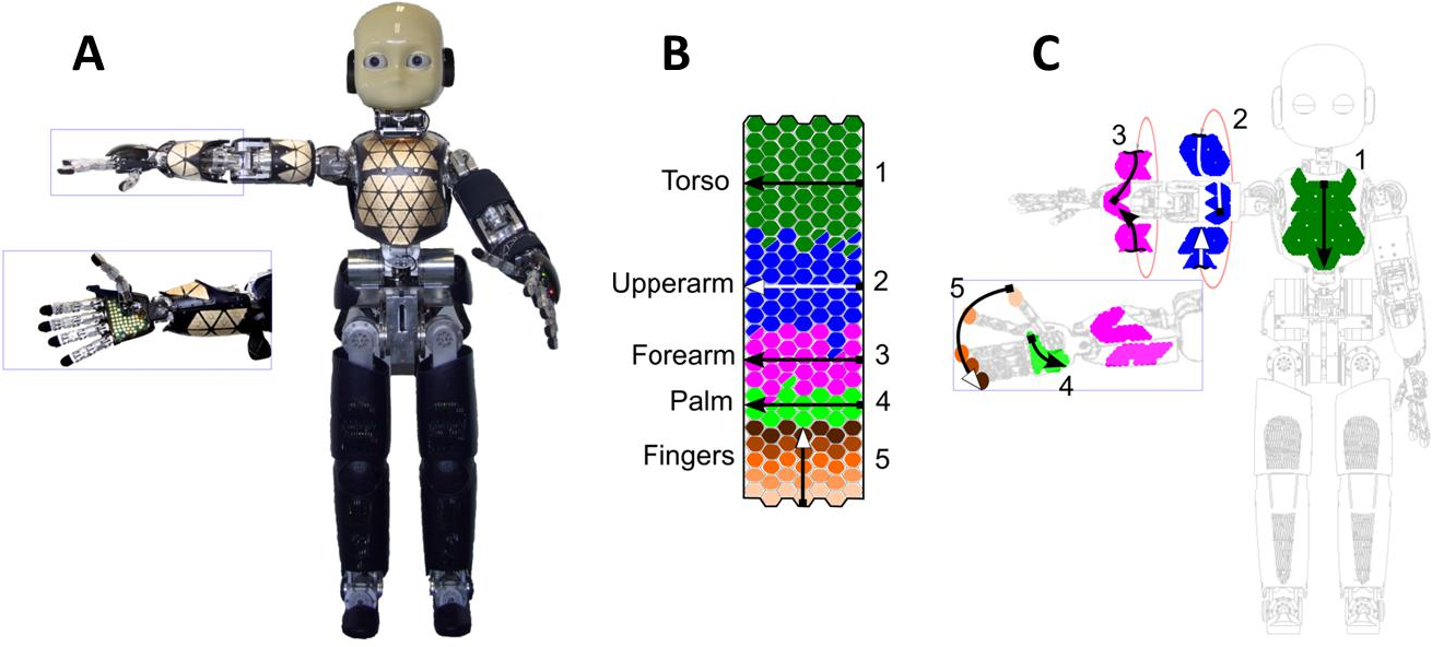 Figure 1 for Where is my forearm? Clustering of body parts from simultaneous tactile and linguistic input using sequential mapping