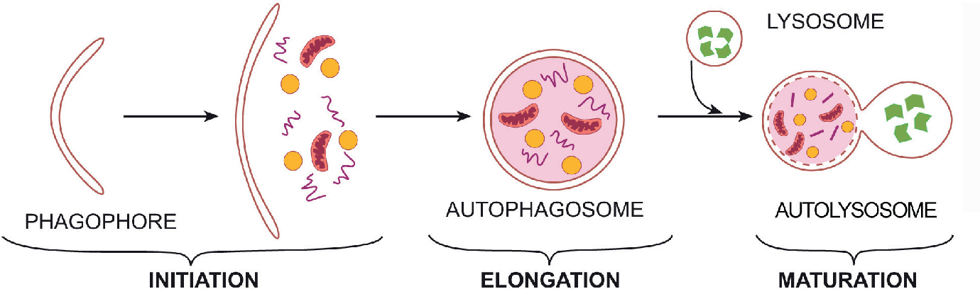 PDF] The Role of Autophagy in Immunity and Autoimmune