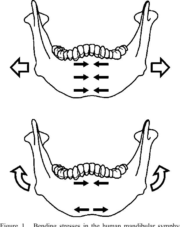 Functional Significance Of Bone Distribution In The Human Mandibular