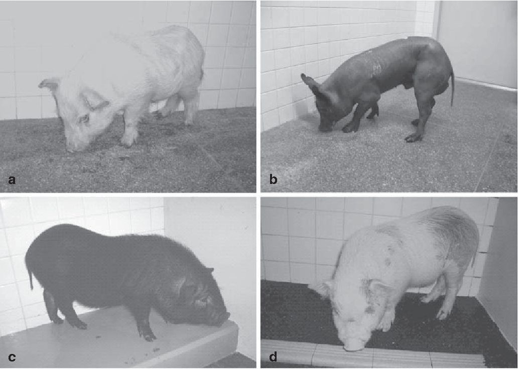 Fig. 1a–d. The four kinds of miniature pig used as experimental animals. a Clawn minipig. b Mexican hairless pig. c Chinese minipig. d Crossbred minipig