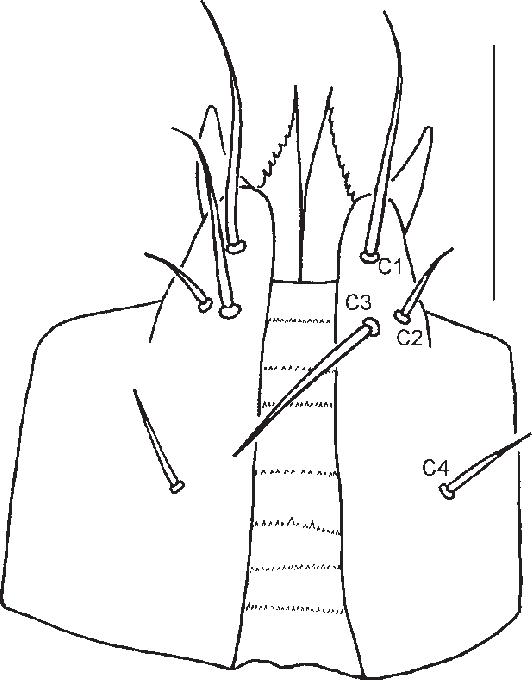 Acari Order Diagram