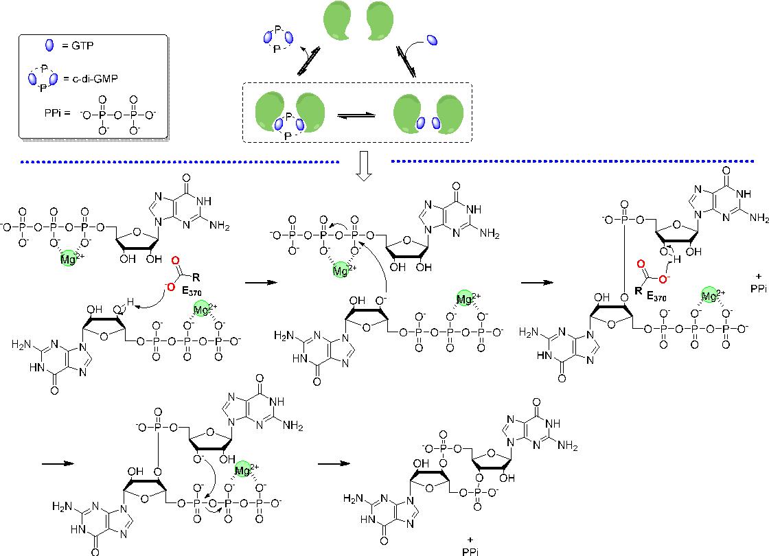 figure 6 from cyclic dinucleotide c di gmp c di amp and cgamp