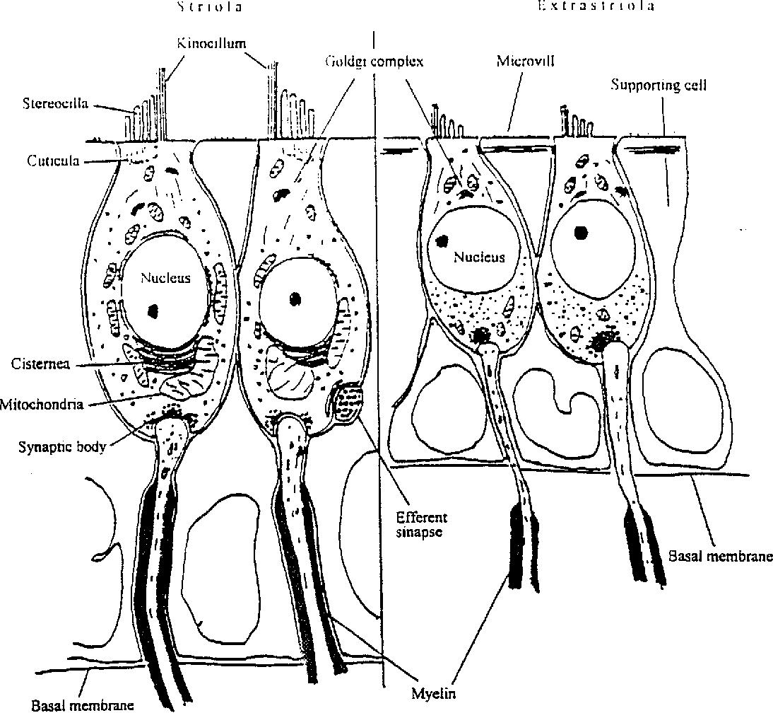 Human Ear Clip Art Vector Images U0026 Illustrations Wiring Diagram