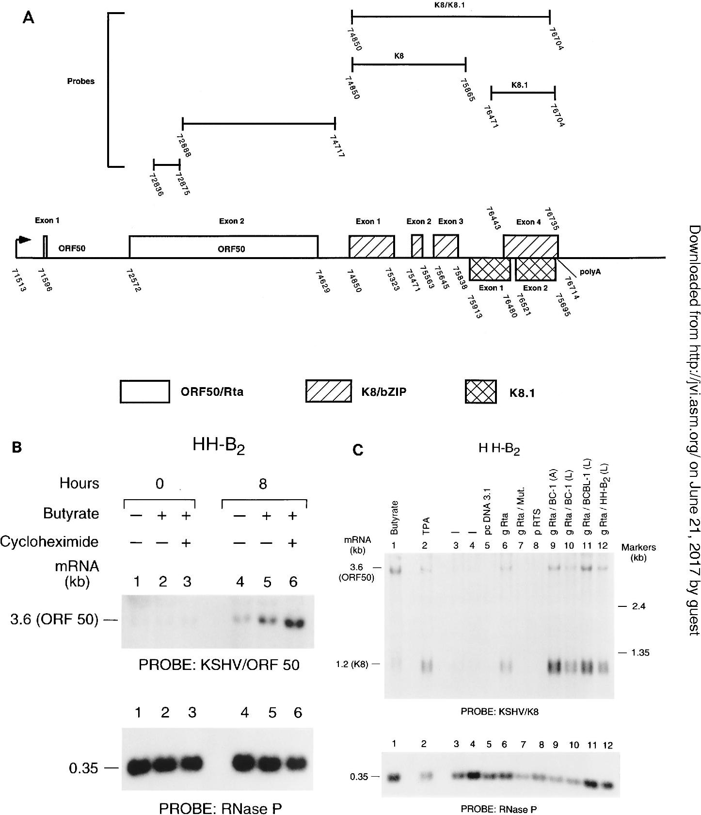 Figure 1 from Kaposi \' s Sarcoma-Associated Herpesvirus Open Reading ...
