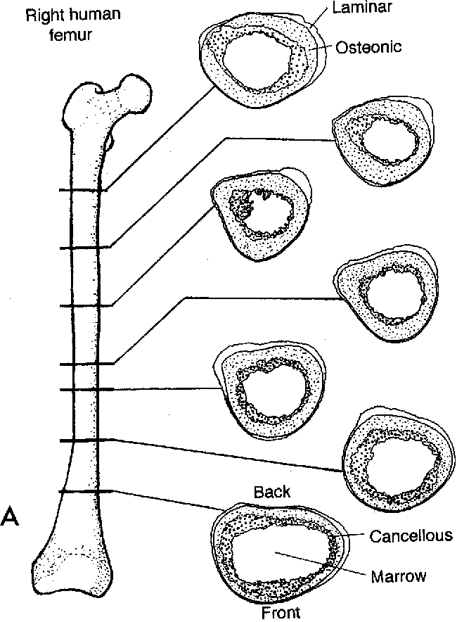 Figure 3 From Structure Of Long Bones In Mammals