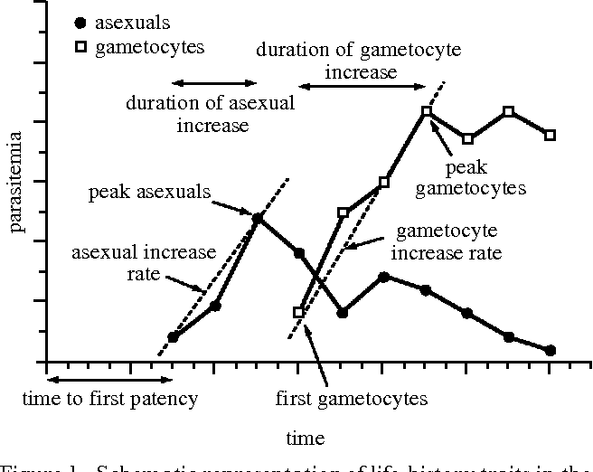 Parasitemia asexual reproduction