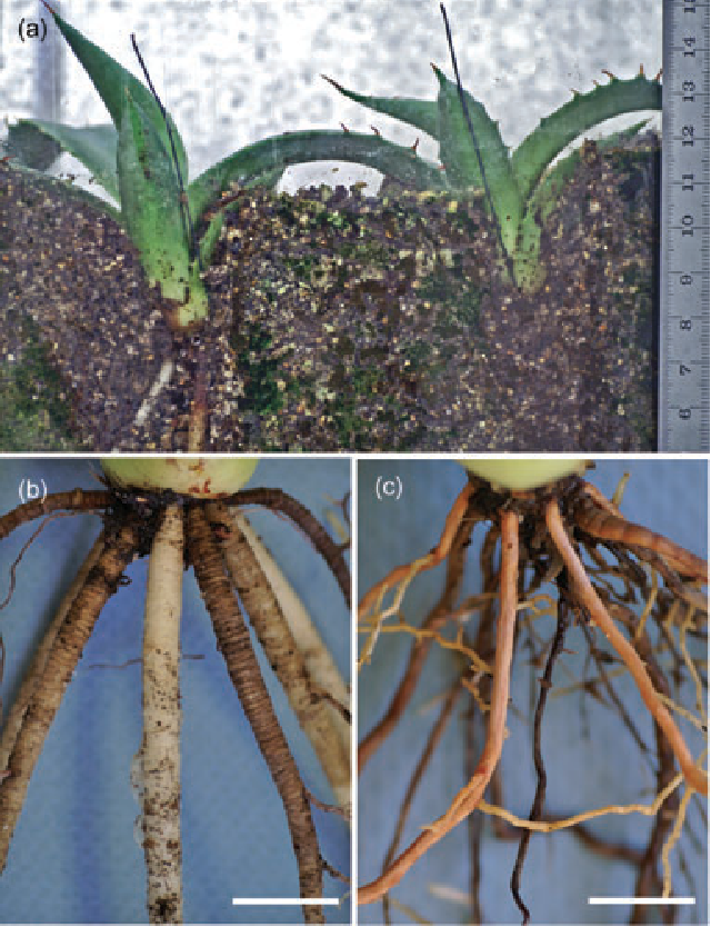 Figure 1 from Contractile roots in succulent monocots: convergence