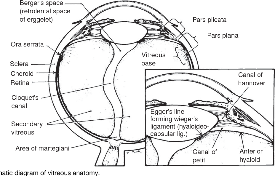 Figure 2 from Author \' s personal copy Vitreous Anatomy , Aging ...