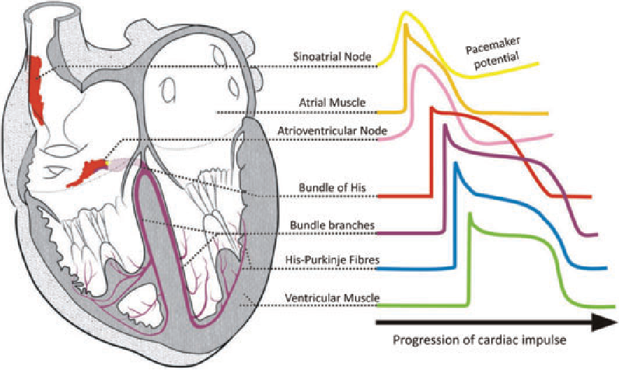 The anatomy and physiology of the sinoatrial node--a contemporary ...