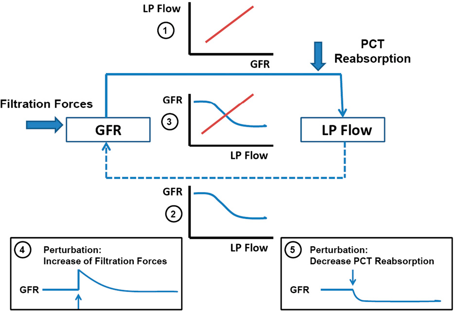 Integrated control of na transport along the nephron semantic scholar figure 3 ccuart Gallery