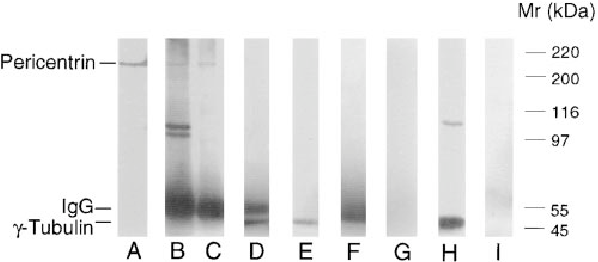 Figure 3. Pericentrin coimmunoprecipitates with g-tubulin but is not part of the isolated g-TuRC. Various cellular fractions were exposed to SDS-PAGE and immunoblotted with pericentrin or g-tubulin antibodies. (A) Centrosome fractions prepared from Xenopus tissue culture cells as described (Blomberg and Doxsey, 1998) and probed with pericentrin antibodies. Pericentrin (B) or g-tubulin (C) immunoprecipitated from freshly prepared Xenopus extracts and blotted with pericentrin antibodies. g-Tubulin (D) or pericentrin (E) immunoprecipitated from freshly prepared Xenopus extracts and blotted with g-tubulin antibodies. Precipitations performed with pericentrin preimmune sera and blotted with pericentrin antibodies (F) or with no antibody (immunobeads alone) and blotted with g-tubulin antibody (G). Purified g-TuRC fractions immunoblotted with antibodies to g-tubulin (H) or pericentrin (I).