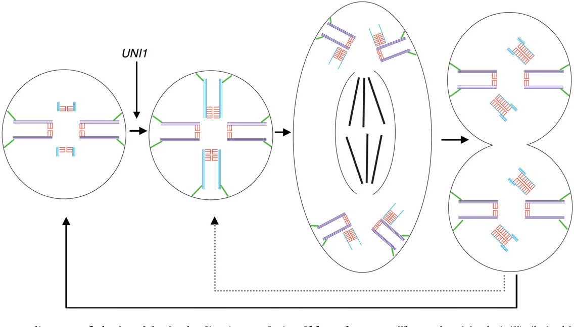 Figure 6 From Site Specific Basal Body Duplication In Chlamydomonas