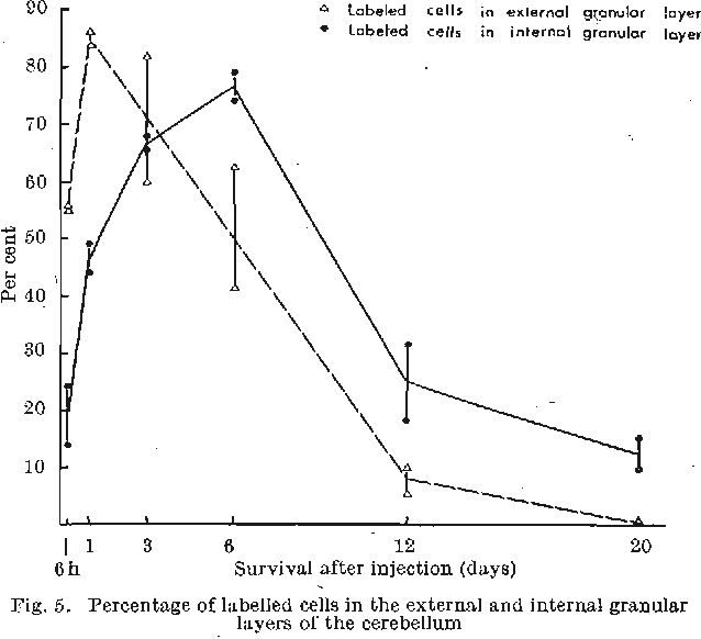 Fig. 5. Percentage of labelled cells in the external and internal granular layers of the cerebellum