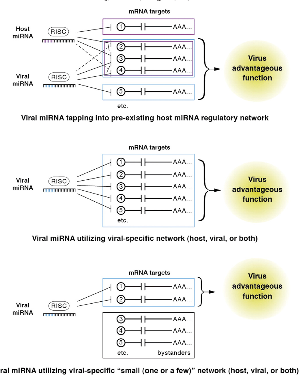 """Fig. 5. A hypothesis: most virus-encoded miRNAs will regulate a target mRNA network substantially different than their host counterparts. With a few rare, important exceptions, most virus miRNAs are not predicted to tap into existing host miRNA-target regulatory networks (top panel). Some virus-encoded miRNAs have been shown to regulate a fairly large number of mRNA transcripts involved in a particular process, despite the fact that these miRNAs share no seed sequence identity with host miRNAs. This implies that sometimes, virus-encoded miRNAs are able to tap into viral-specific, miRNA–mRNA transcript networks (Middle panel). Finally, we propose the hypothesis that the major function of many virus-encoded miRNAs will be to regulate a small number of key (host or viral) transcripts (bottom panel). Despite the fact that exogenous expression of such miRNAs will result in changes in the steady state levels of numerous (~hundreds) of transcripts, only a small minority of these need be of functional relevance and the rest may simply be bystanders. Parsing out the relevant targets is the major challenge of """"bottom-up"""" approaches (described in Fig. 3)."""