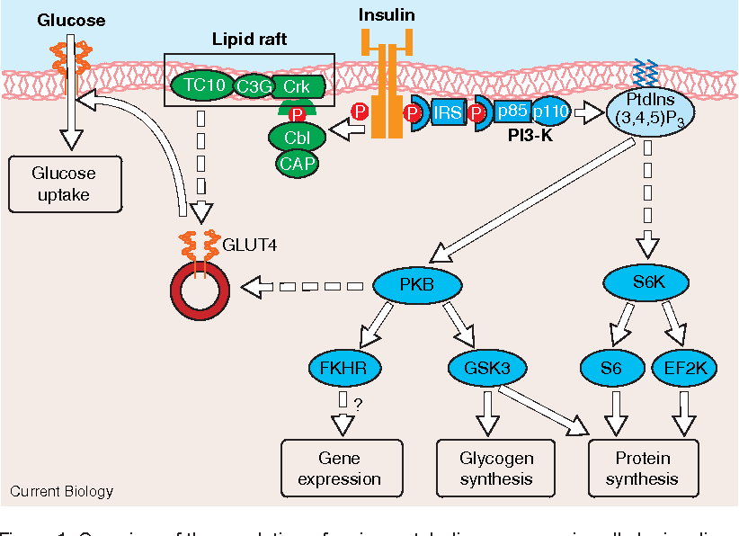 overview of the regulation of major metabolic responses in cells by insulin