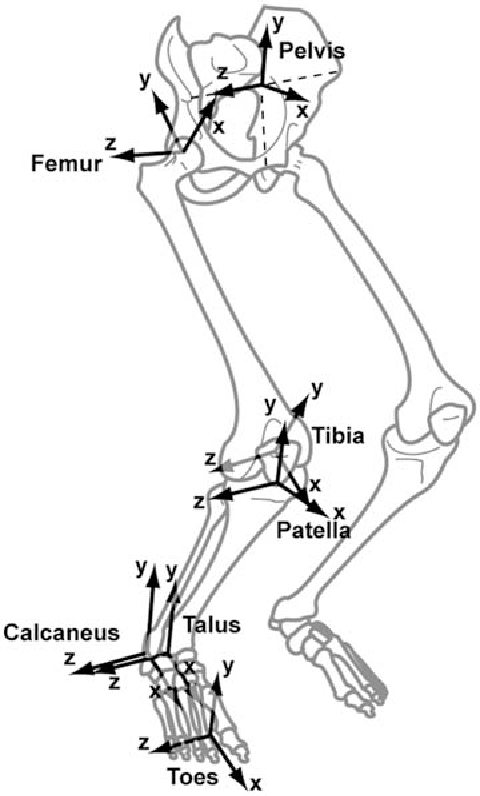 Figure 1 From A Model Of The Lower Limb For Analysis Of Human