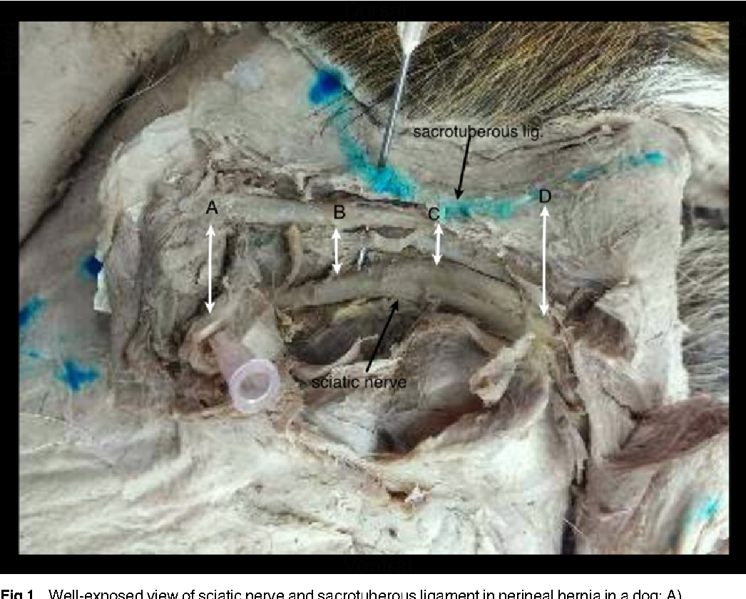 The Spatial Relationship and Surface Projection of Canine Sciatic ...
