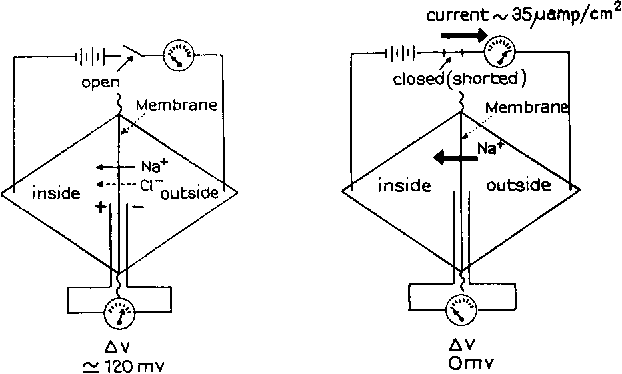 Some Morphological Aspects Of Active Sodium Transport The