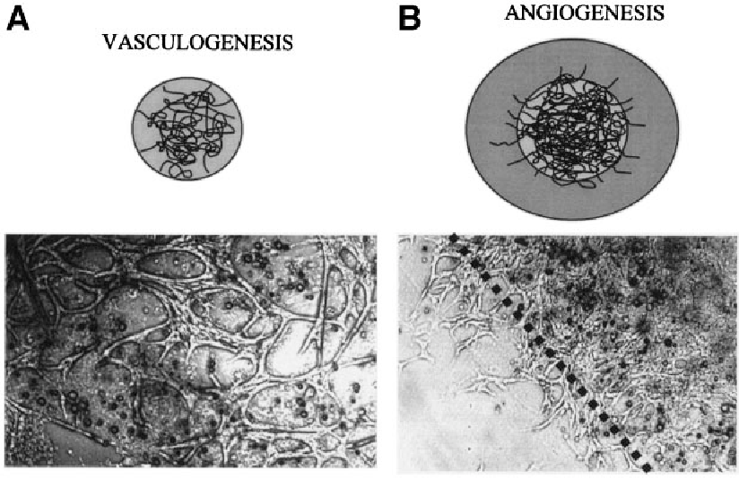 FIG. 1. Diagrammatic and morphologic illustration of 3-D model of retinal angiogenesis. A: Phase contrast microscopy demonstrates development of retinal microvascular endothelial cell networks and the formation of tubes within the initial 3-D matrix. B: A second layer of Matrigel is placed on top of the initial matrix, and this results in invasion of preformed retinal microvessels into the secondary layer. This is observed as invasion across a phasedark line (shown as the dotted line), and tubes are counted only at the point where they cross this line.