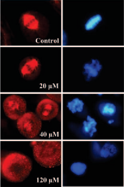 Fig. 2. Effects of griseofulvin on spindle MTs and chromosome organization. HeLa cells were incubated with the indicated concentrations of griseofulvin for 40 h. Spindle MTs (red) and chromosomes (blue) were analyzed as described in Materials and Methods.