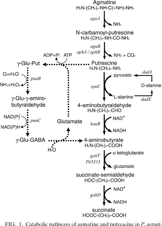 Transcriptome analysis of agmatine and putrescine catabolism