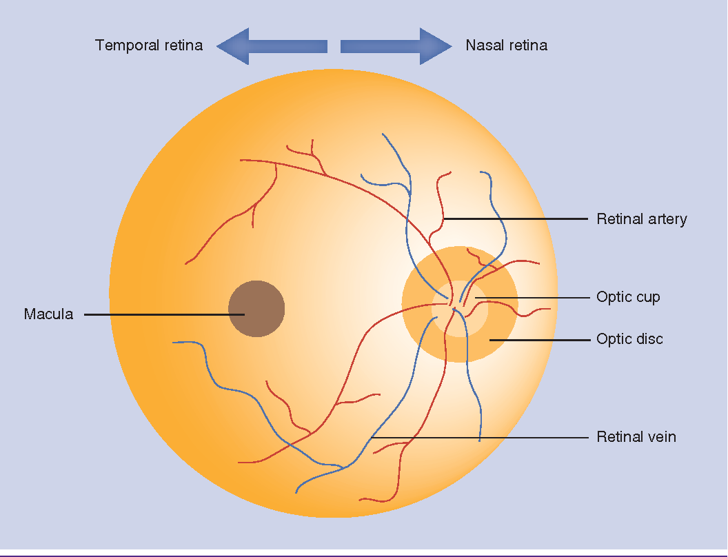 figure 1 from retinal manifestations of alzheimer s disease rh semanticscholar org diagram of fundal height diagram of fungus and hyphae
