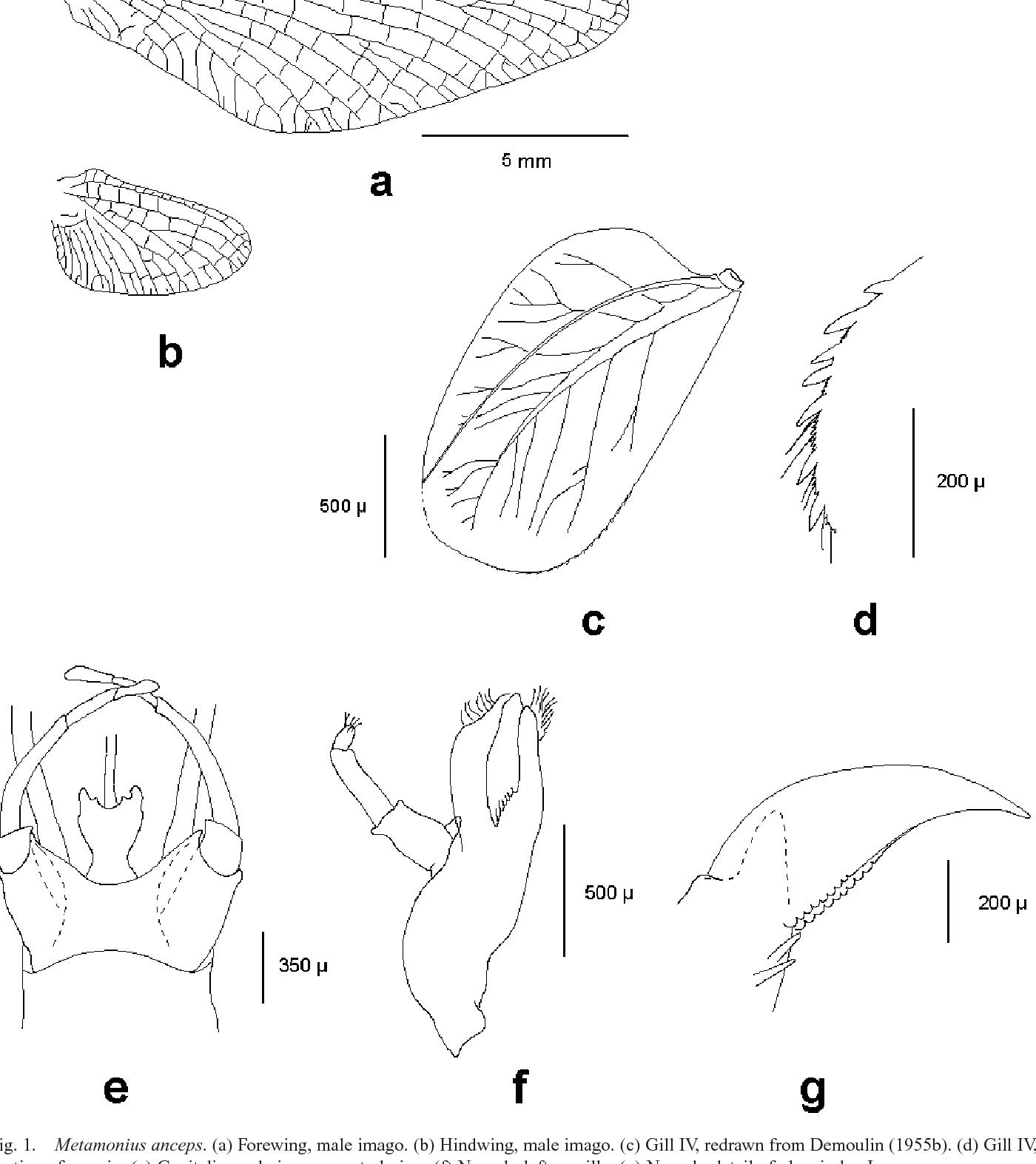 Figure 1 from Taxonomic Revision of the Genus Metamonius Eaton