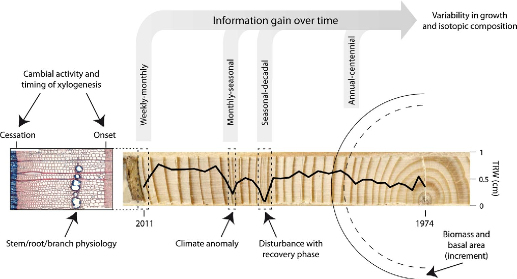 A tree ring perspective on the terrestrial carbon cycle semantic figure 4 ccuart Gallery