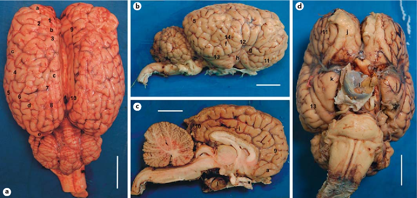The Brain Of The Horse Weight And Cephalization Quotients