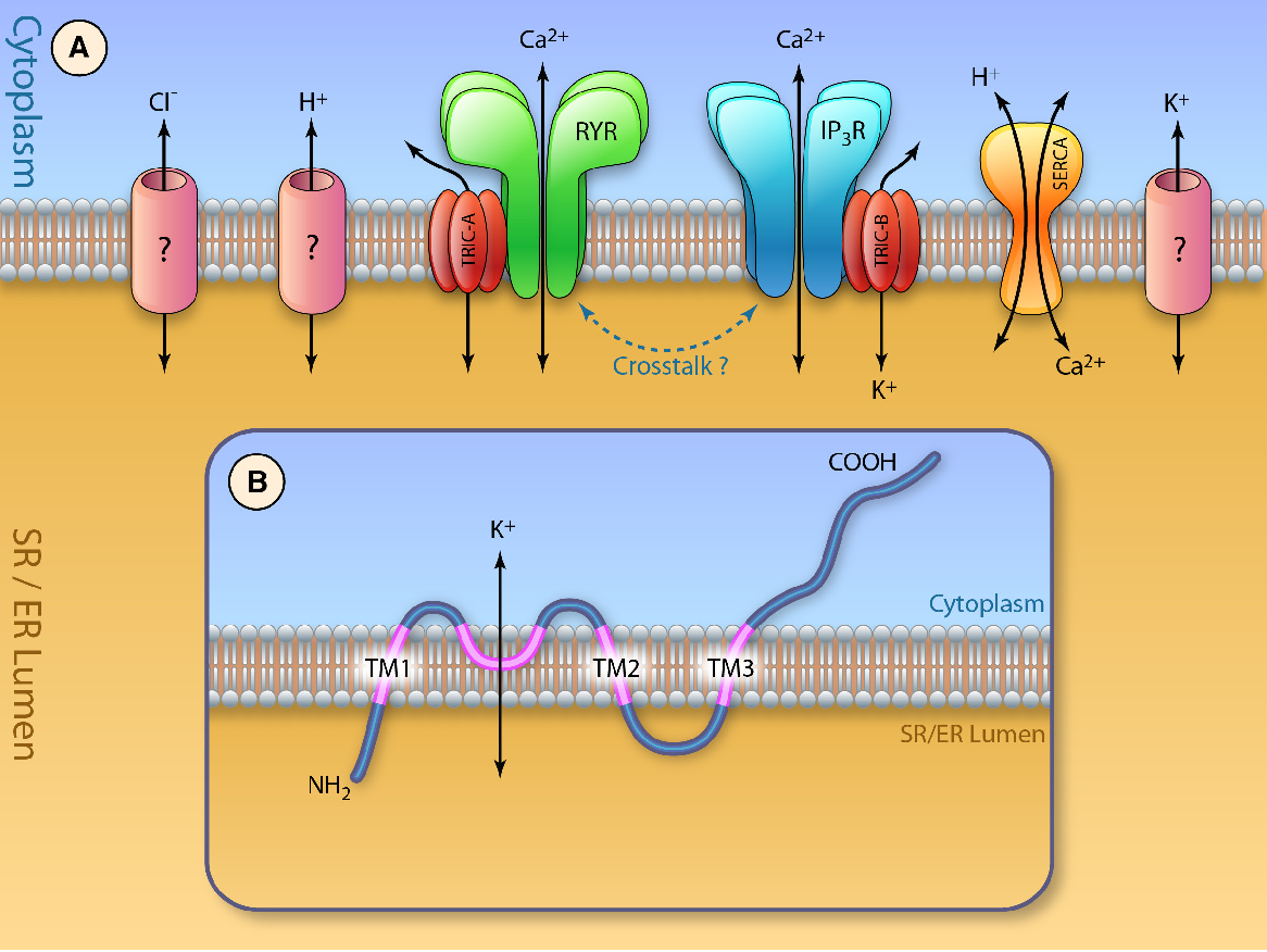 Figure 1. Model for trimeric intracellular cation channels (TRIC) function in Ca2+ signaling. A, TRIC-A and TRIC-B are 2 isoforms of the trimeric intracellular cation channels. Both TRIC-A and TRIC-B channels can conduct monovalent cations to provide the flow of counter currents associated with release of Ca2+ ions from intracellular stores. TRIC-A modulates ryanodine receptor (RyR)–mediated Ca2+ release from the sarcoplasmic reticulum (SR), and TRIC-B facilitates IP3 receptor (IP3R)–mediated Ca 2+ release from the endoplasmic reticulum (ER). Whether there is a cross-talk between TRIC-A– and TRIC-B–mediated intracellular Ca2+ signaling remains to be explored. Molecular identify of other channels located on the ER/SR membranes are not known. B, Topology model of TRIC channels on the SR/ER membrane. SERCA indicates sarco/endoplasmic reticulum ATPase. (Illustration Credit: Ben Smith.)
