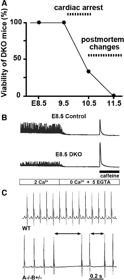 Figure 5. Deletion of both Tric-a and Tric-b leads to embryonic lethality. A, Trimeric intracellular cation channel (TRIC)-double knockout (DKO) embryos exhibited weak heartbeats at E9.5, stopped beating at ≈E10.5, and postmortem autolysis and discoloration at ≈E11.5. B, Defective Ca2+ signaling in TRIC-DKO cardiomyocytes (bottom) compared with normal Ca2+ signaling in double heterozygotes (top, control) cardiomyocytes. Reprinted from Yazawa et al53 with permission of the publisher. Copyright © 2007, Nature Publishing Group. C, Telemetry ECG recording of mice under nontreated conditions. Tric-a−/− and Tric-b+/− mice developed bradycardia with occasional arrhythmic events. WT indicates wild type.